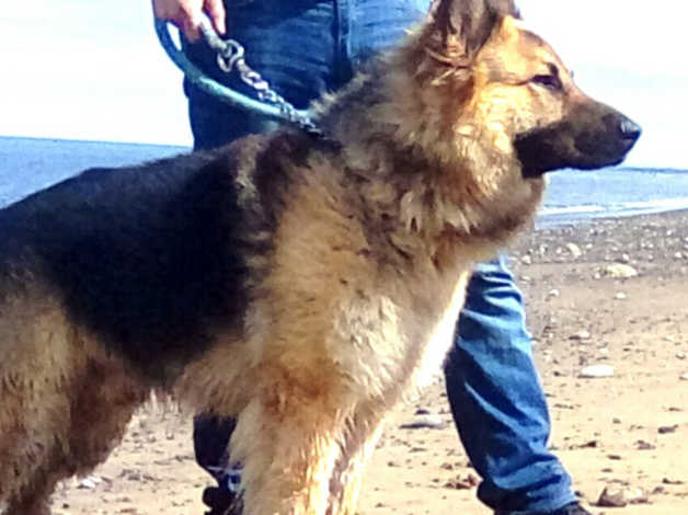 German Shepherd up for Stud only!!!!!! in Hartlepool