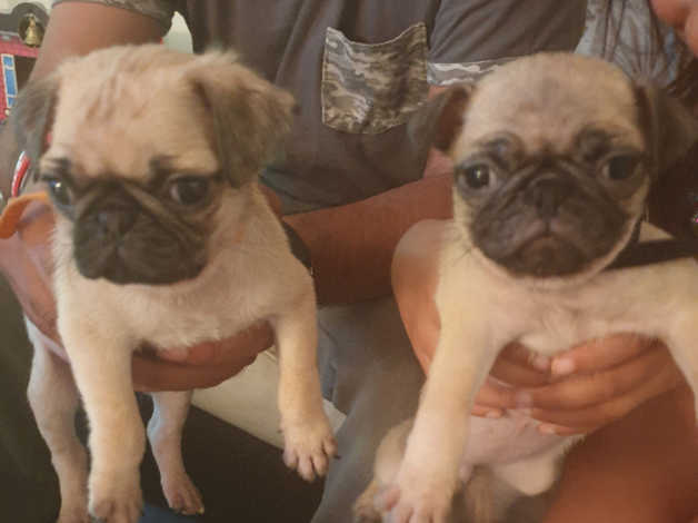 Pug puppies 1 boy 1 girl now sold in Derbyshire